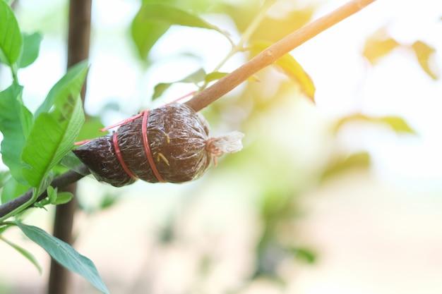 Szczepienie pnia drzewa guawy z gospodarstwa rolnego