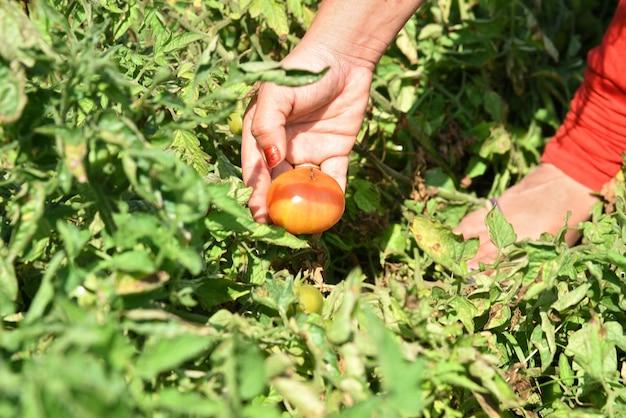 Szczęśliwa młoda kobieta zbieranie lub badanie świeżych pomidorów w gospodarstwie ekologicznym lub w polu