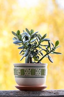 Szczęsliwa roślina lub pieniądze drzewo na żółtym tle