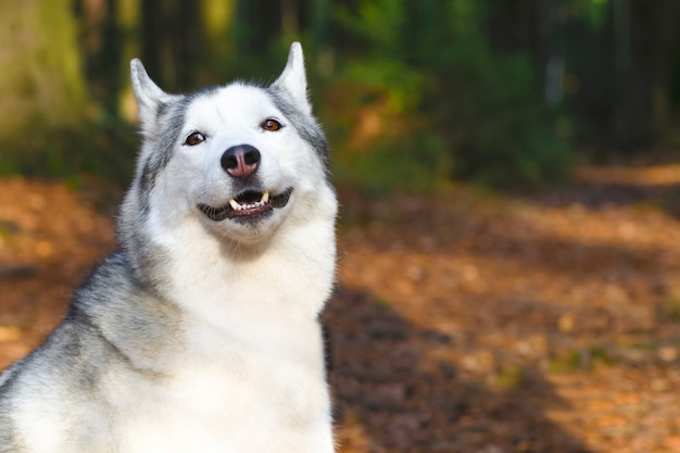 Szczęśliwa twarz husky uśmiechnięta. kanadyjski, północny pies. skopiuj miejsce