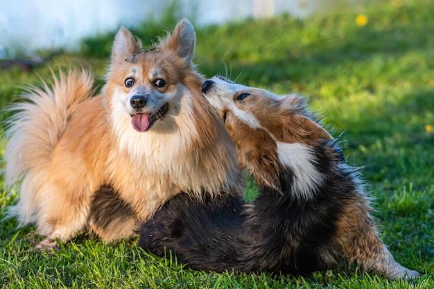 Szczęśliwe i aktywne rasowe walijskie psy corgi bawiące się w polu trawy