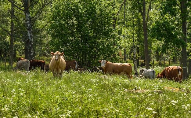 Szczęśliwe krowy na zielonym letnim pastwisku w szwecji.