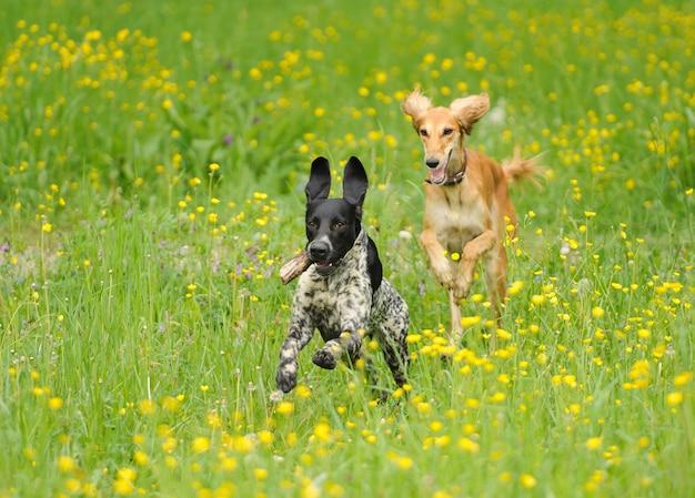 Szczęśliwe psy biegną po łące z jaskrami