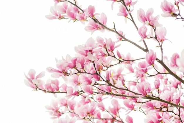 Szczęśliwego dnia wiosny. kwitnące drzewo magnolii., naturalne tło kwiatów. piękne wiosenne kwiaty. kwiat drzewa magnolii. początek nowego życia. wzrost przyrody i przebudzenie. dzień kobiet. dzień matki święto.