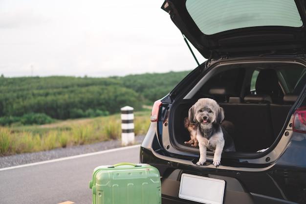 Szczęśliwi mieszani trakenu i chihuahua psy siedzi w otwartym bagażnika samochodzie.
