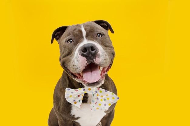 Szczęśliwy amerykański bully pies ubrany w wielokolorową muszkę. . na białym tle na żółtej powierzchni.