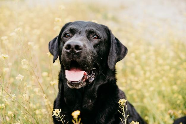 Szczęśliwy czarny labrador pies na zewnątrz w przyrodzie w żółte kwiaty łąka. słoneczna wiosna