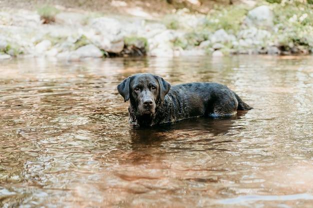 Szczęśliwy czarny labrador pies pływanie w rzece. przyroda i zwierzęta, czas przygody