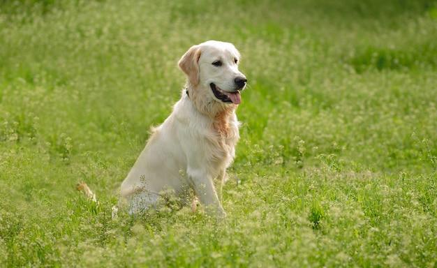 Szczęśliwy golden retriever na kwitnącym wiosennym polu
