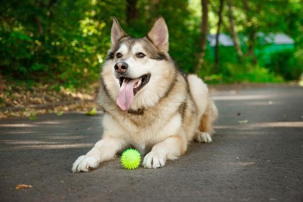 Szczęśliwy husky kłamie i bawi się piłką.