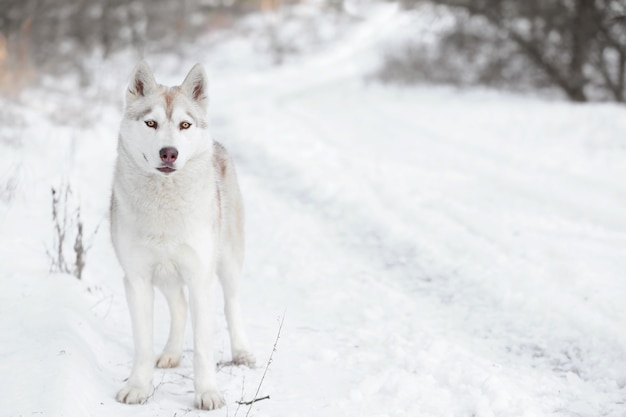 Szczęśliwy husky syberyjski na spacerze w parku zimowym