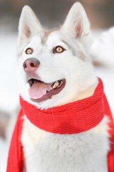 Szczęśliwy husky syberyjski noszący szalik na zewnątrz w zimowy dzień