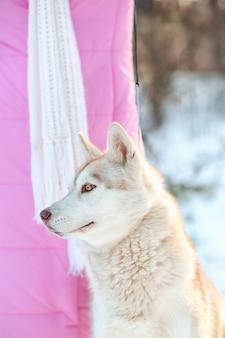 Szczęśliwy husky syberyjski z właścicielem na zewnątrz w zimowy dzień
