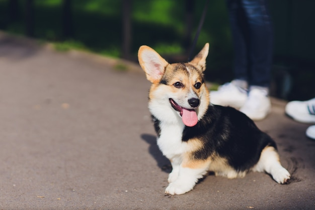 Szczęśliwy i aktywny rasowy walijski corgi pies na zewnątrz w trawie w słoneczny letni dzień.