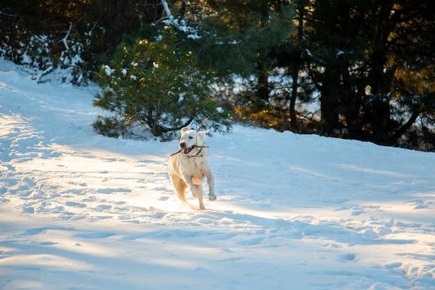 Szczęśliwy labrador biega w śniegu. labrador z kijem w zębach biegnie przez las. wściekły pies biega po śniegu. labrador bawi się z właścicielem. szczęśliwy pies.