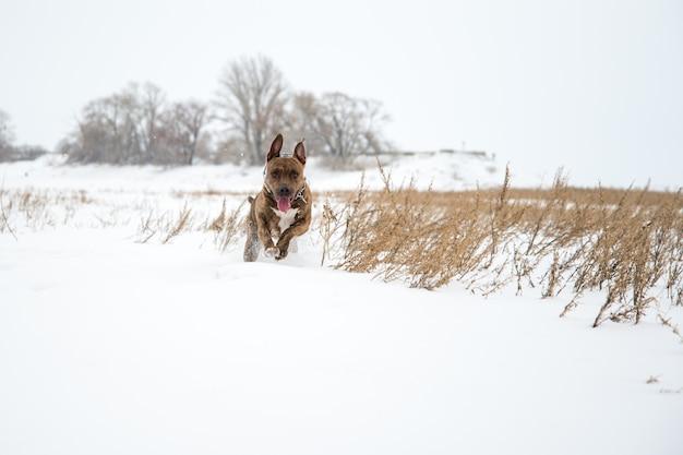 Szczęśliwy pasiasty american staffordshire terrier na śniegu, stafford zimą, bieganie amstaff, skakanie, rudzielec piękny pies terrier uśmiecha się i zabawnie spaceruje w naturze. ast w zimie