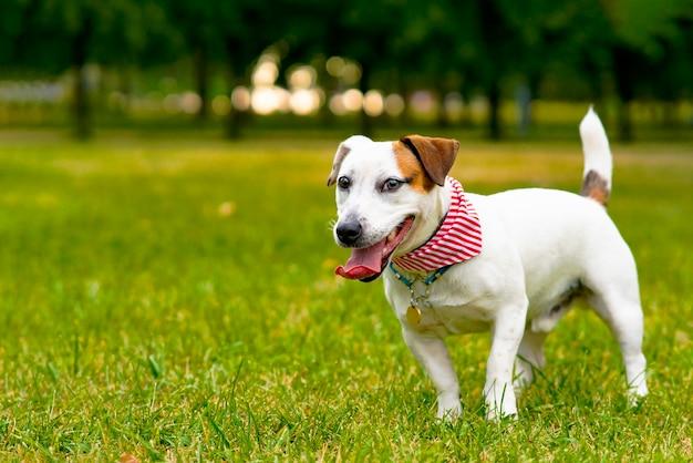 Szczęśliwy piękny pies rasy jack russell terrier spacerujący po parku na zielonej trawie uśmiechnięty zwierzak