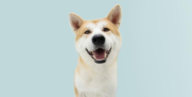 Szczęśliwy pies akita na niebieskim tle