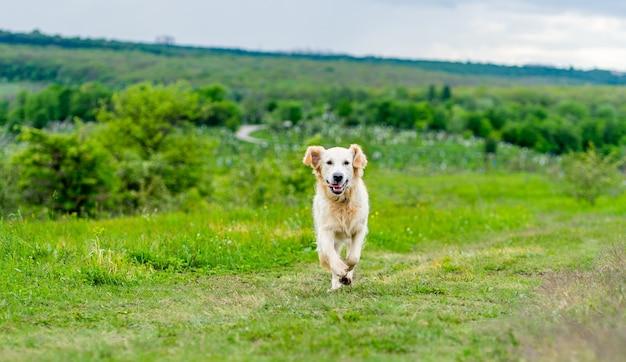 Szczęśliwy pies biegający po soczystej, zielonej wiosennej naturze