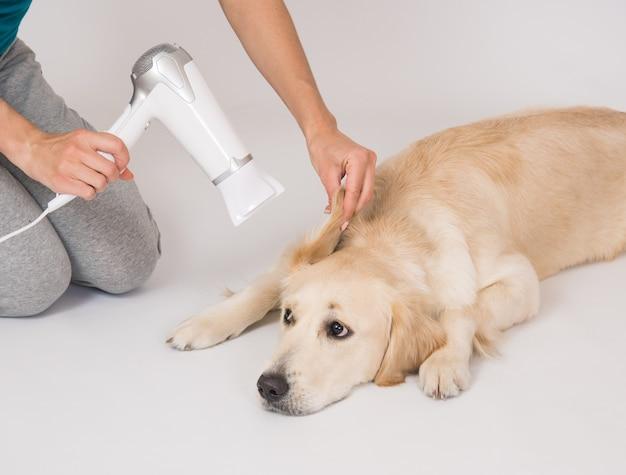 Szczęśliwy pies golden retriever suszący uszy suszarką do włosów