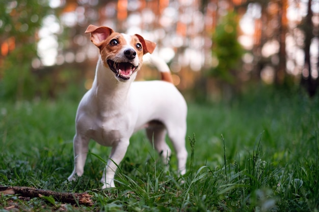 Szczęśliwy pies, jack russell bawiący się w parku