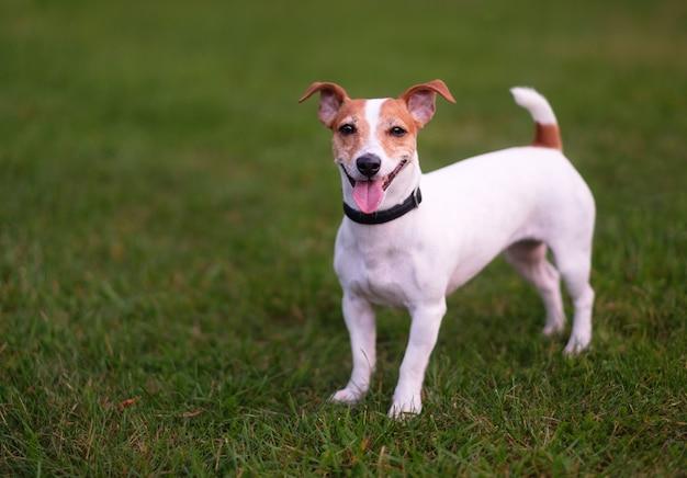 Szczęśliwy pies, jack russell terrier na zielonej trawie
