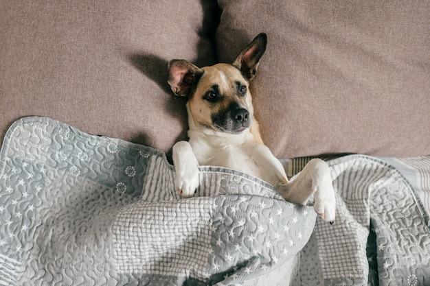 Szczęśliwy pies leżący na plecach na łóżku pod kocem.