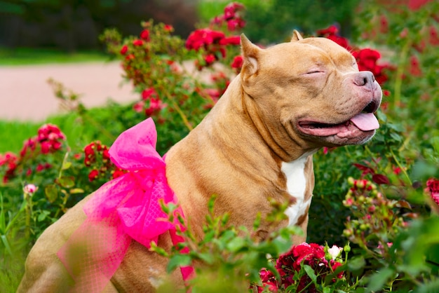 Szczęśliwy pies na tle krzaków z czasami w ogrodzie. zwierzę amerykański bully.