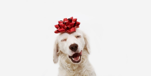 Szczęśliwy pies obecny na boże narodzenie, urodziny lub rocznicę, ubrany w czerwoną wstążkę na głowie. odosobniony