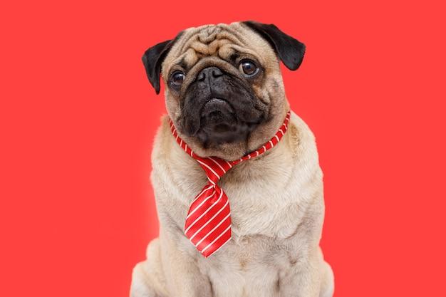 Szczęśliwy pies pracownik biurowy rasy mops w krawacie czerwonym tle