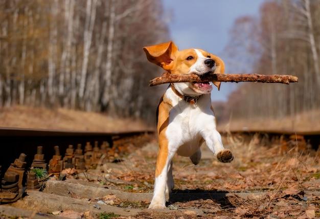 Szczęśliwy pies rasy beagle pędzi z kijem w słoneczny dzień