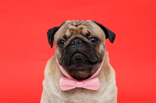 Szczęśliwy pies rasy mops w krawacie motyl śliczny pies na czerwonym tle