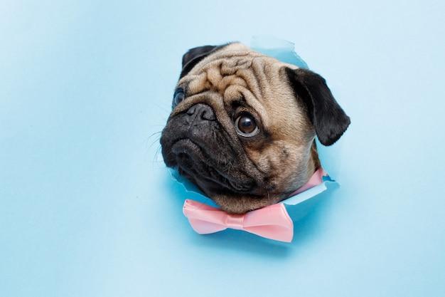 Szczęśliwy pies rasy mops w krawacie motyl śliczny pies na niebieskim tle