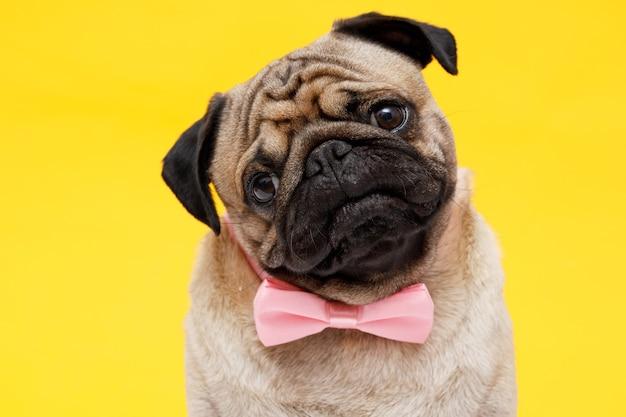 Szczęśliwy pies rasy mops w krawacie motyl śliczny pies na żółtym tle