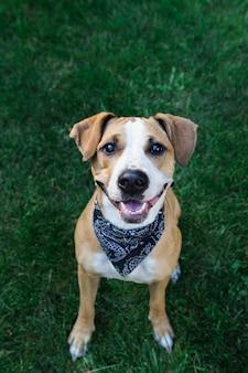 Szczęśliwy pies w chustek patrząc w górę