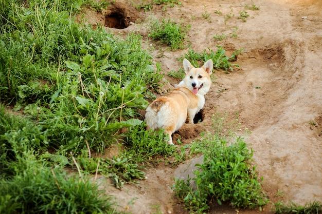 Szczęśliwy pies welsh corgi pembroke kopie dziury w ziemi, spacerując latem na świeżym powietrzu.