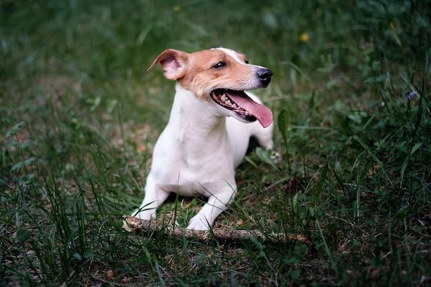 Szczęśliwy piesek w parku, jack russell terrier