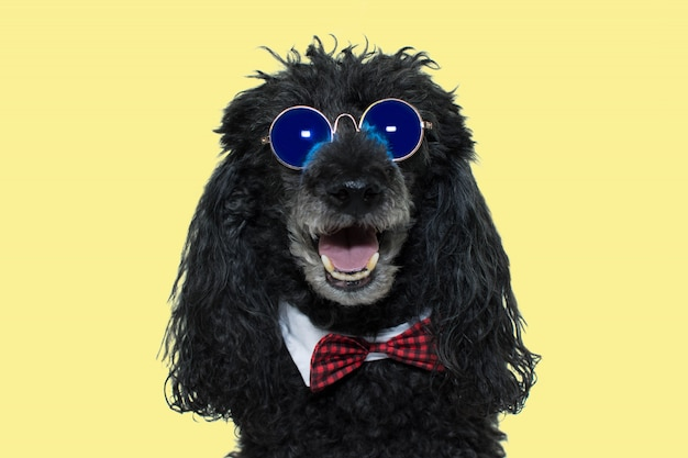 Szczęśliwy pudel pies jest ubranym błękitnych lustrzanych okulary przeciwsłonecznych czerwony bowtie