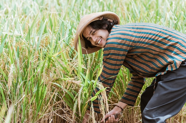 Szczęśliwy rolnik zbiorów niełuskanego w ryżowym polu indonezyjski