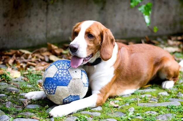 Szczęśliwy rudowłosy pies rasy beagle, z piłką leżącą na trawie