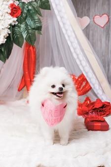 Szczęśliwy śliczny puszysty biały pies (pomorskim) z darmowymi pocałunkami papierowe serce, koncepcja świętego walentego
