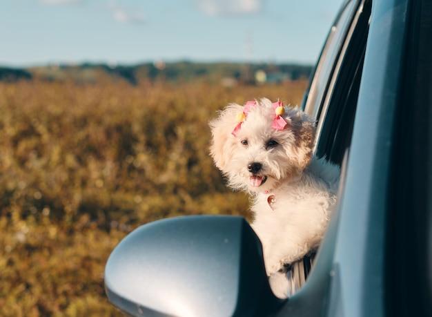 Szczęśliwy szczeniak pudel francuski ze spinkami do włosów, patrząc przez okno samochodu z wystawionym językiem