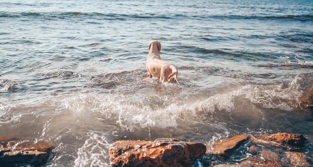 Szczęśliwy wesoły golden retriever pływanie bieganie skoki bawi się wodą na wybrzeżu w lecie.