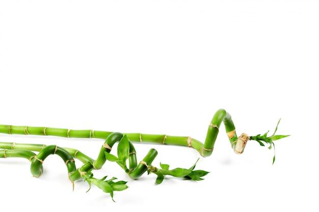 Szczęśliwy zielony bambus