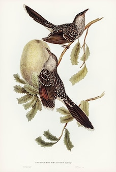 Szczotka wattle bird (anthochaera mellivora) zilustrowana przez elizabeth gould
