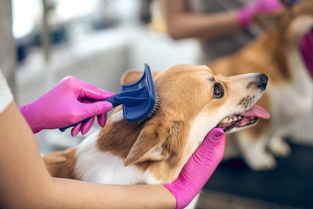 Szczotkowanie psa. zamknij się zdjęcie z rąk groomers szczotkuje psa