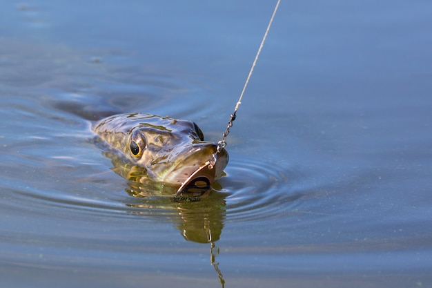 Szczupak esox lucius z przynętą w ustach w wodzie.