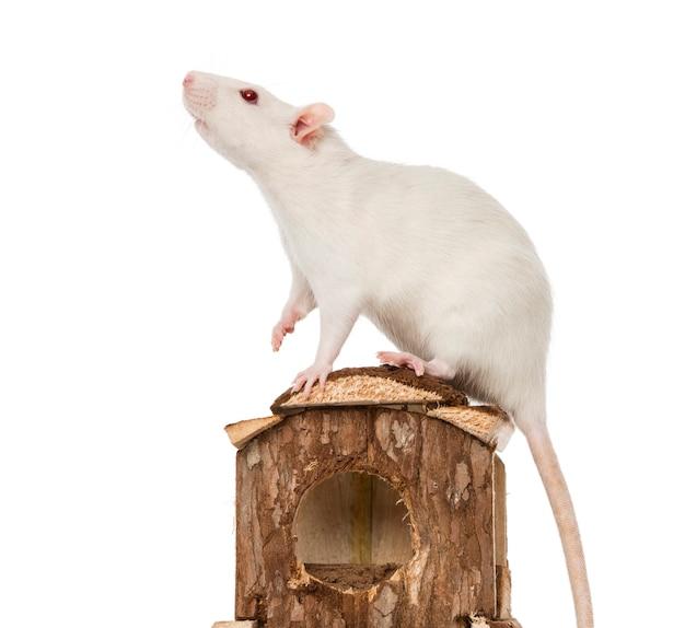 Szczur (8 miesięcy) stojący na domku dla myszy