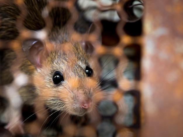 Szczur jest uwięziony w pułapce lub pułapce