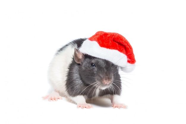 Szczur na białym tle